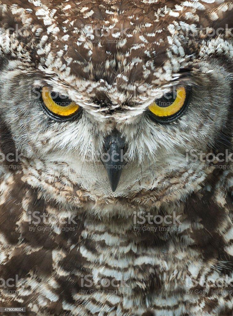 Angry Owl Portrait, Cape Eagle-Owl, Bubo Capensis stock photo