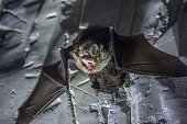 istock Angry pair of bats disturbed during hibernation 1077864264