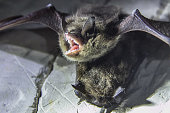 istock Angry pair of bats disturbed during hibernation 1077864310