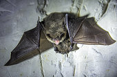 istock Angry pair of bats disturbed during hibernation. 1084730140