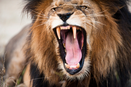istock Angry roaring lion 157038508