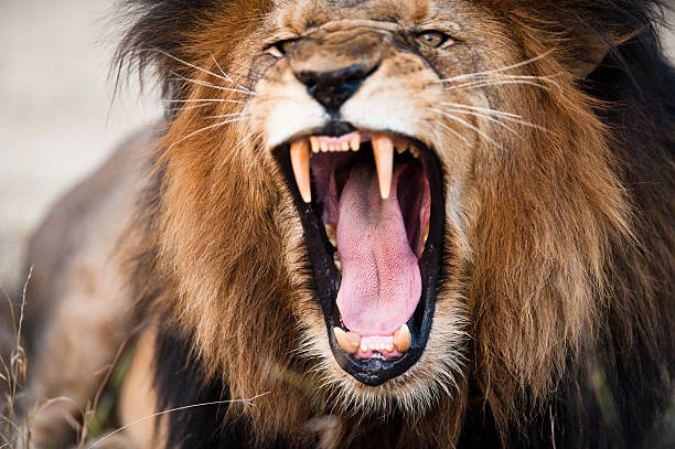angry roaring lion - lion stock photos and pictures