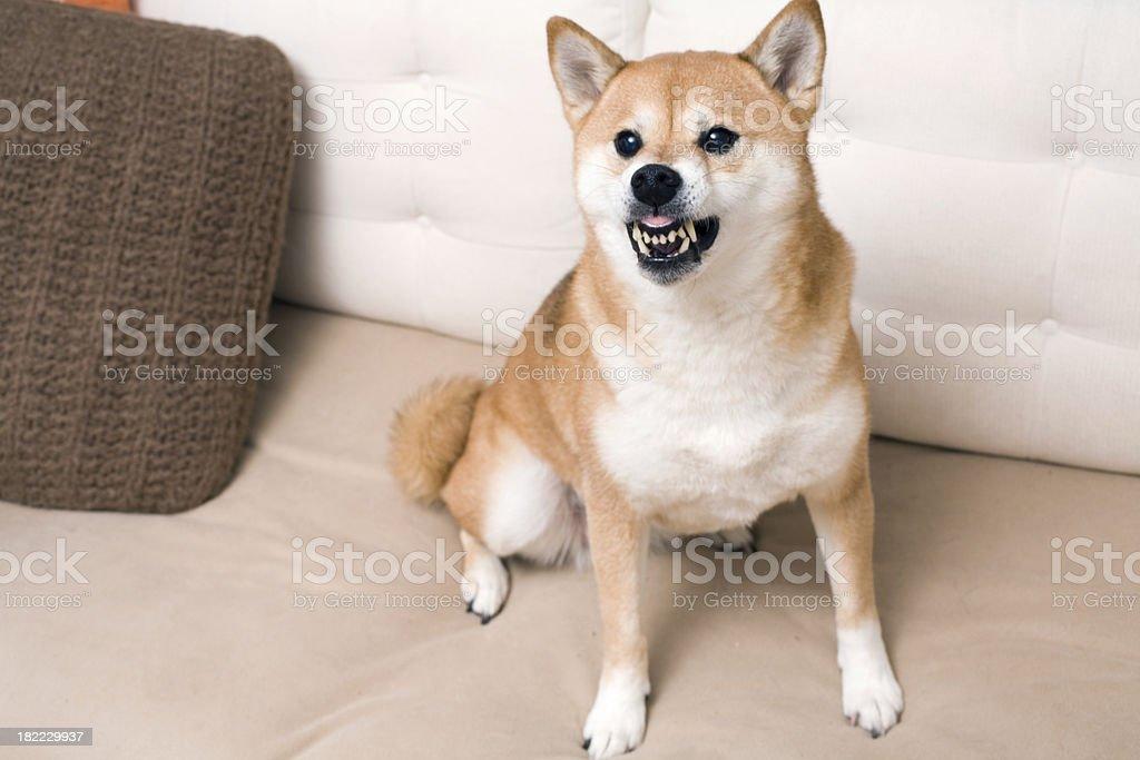 Angry Shiba Inu guarding sofa royalty-free stock photo