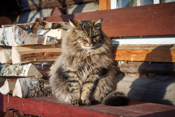 Angry siberian cat in countryside horizontal picture id923260098?b=1&k=6&m=923260098&s=612x612&w=0&h=zzub72zxnm9o5gzykvqc0w9 fbxr4czy7bz4afn5afy=