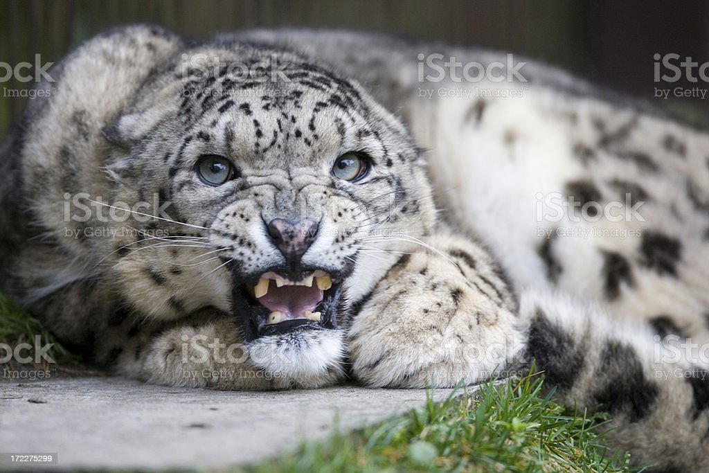 Angry Snow Leopard royalty-free stock photo