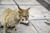 Tabby cat angry and attacking in street, stray domestic animals