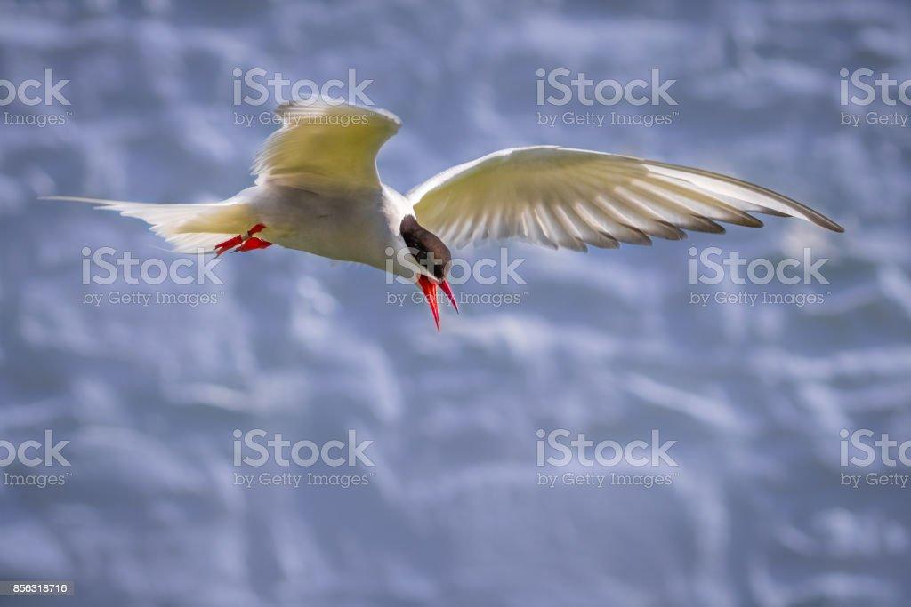 Com raiva Tern protegendo seu ninho - ilhas Farne - foto de acervo