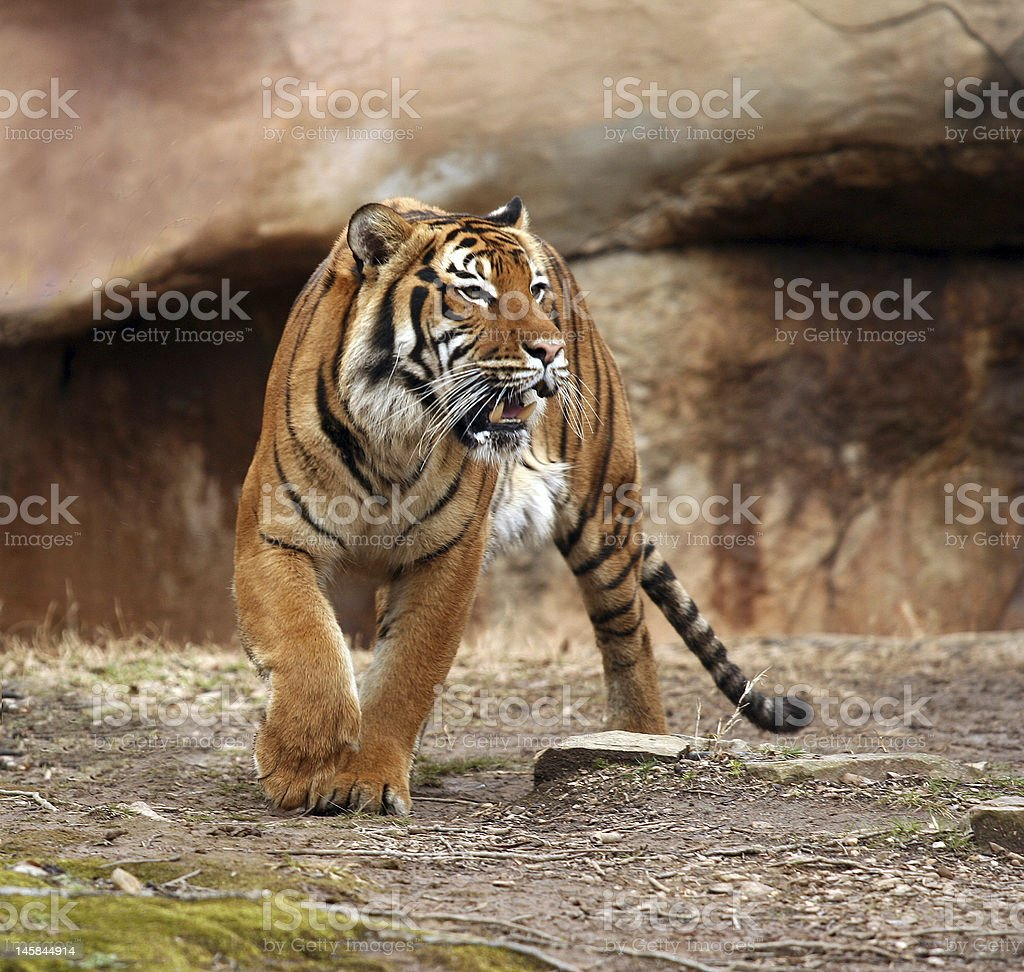 royalty free tiger growling pictures images and stock