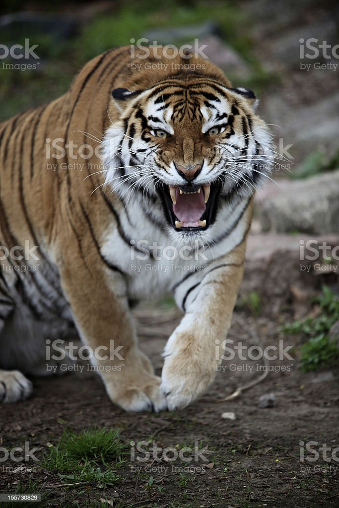 angry tiger stock photo amp more pictures of anger istock