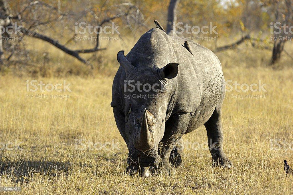 Angry white rhino stock photo