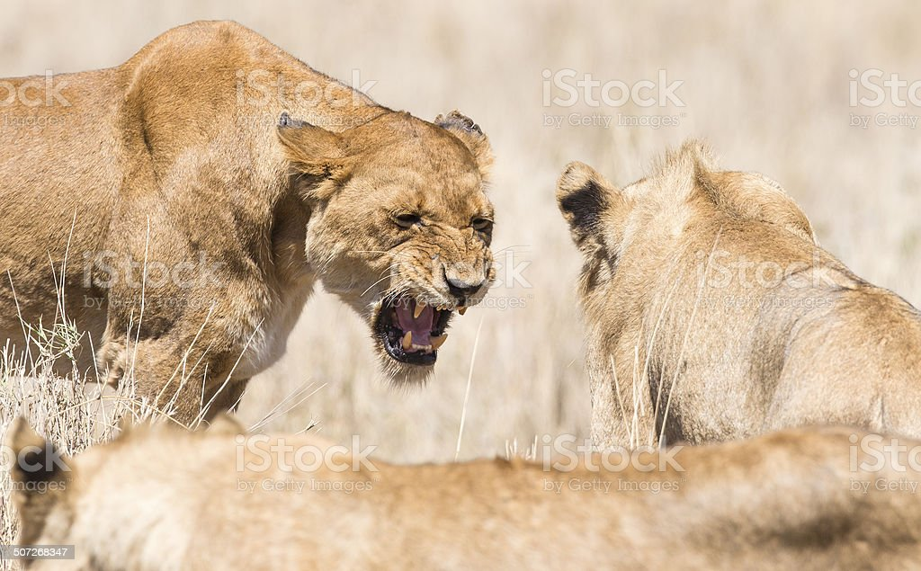Angry wild lion in Africa stock photo
