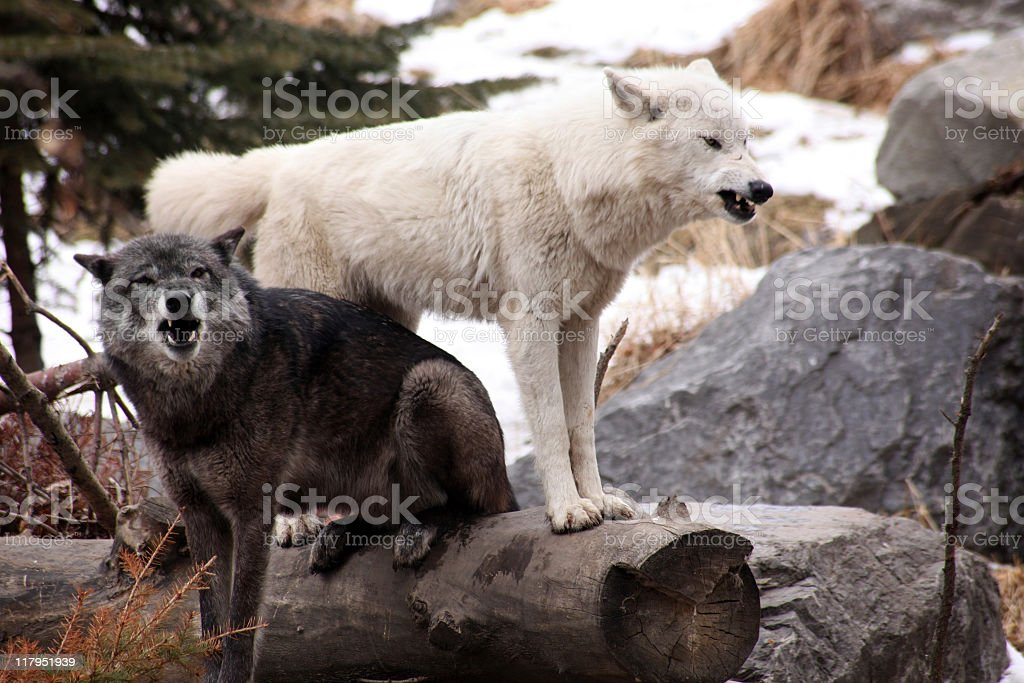 Angry Wolves stock photo