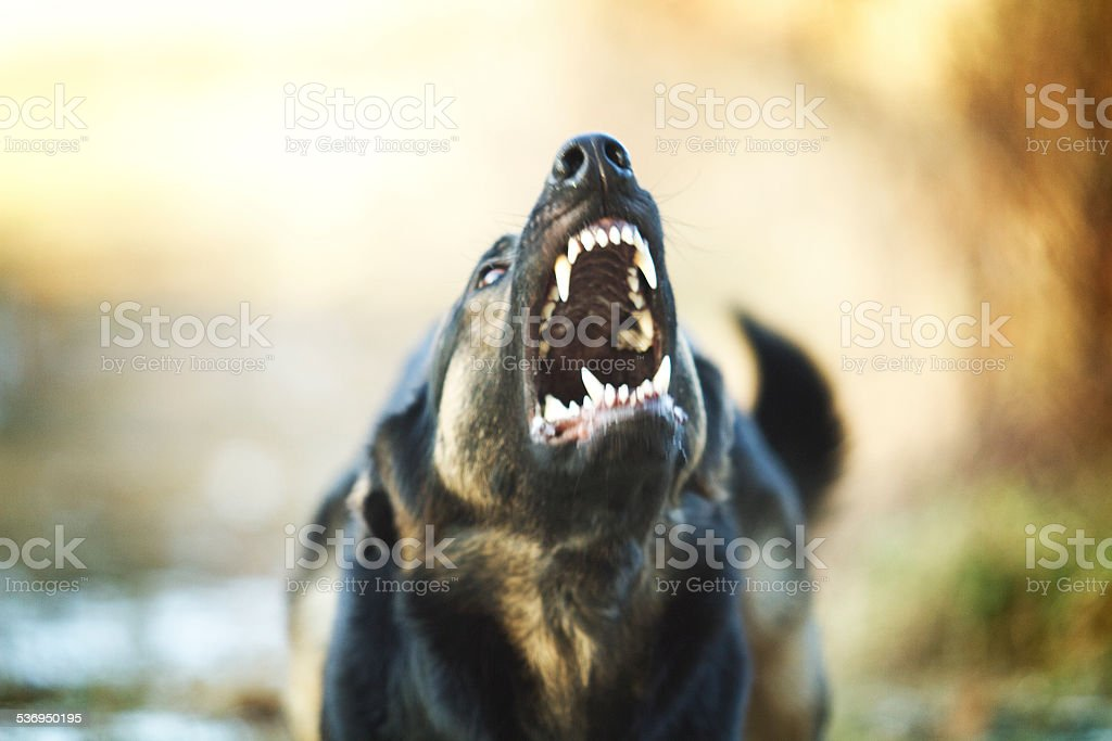 Angry young German shepherd barks and growls in defense stock photo