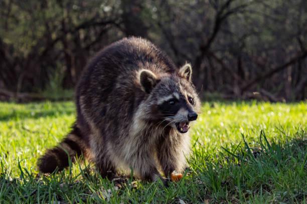 Racoon jeune en colère - Photo