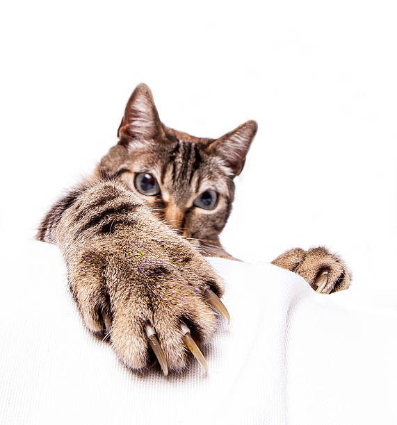angrycat Isolate angry cat shows his nails claw stock pictures, royalty-free photos & images
