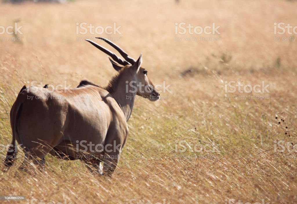 Angular Eland stock photo