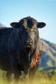 Photo taken of a grazing Angus Bull on a Farm near Te Anau, New Zealand
