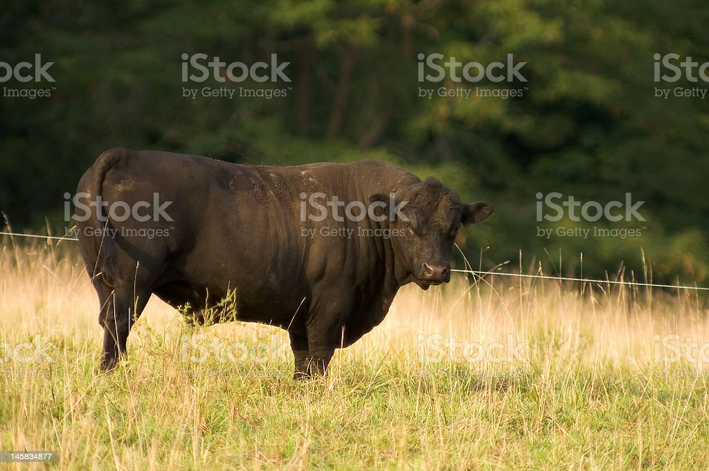Angus Bull stock photo