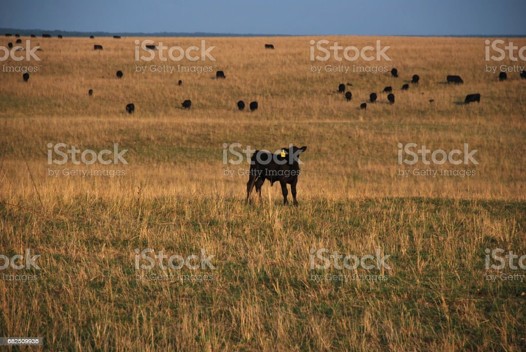Angus calf on the pasture royalty-free stock photo