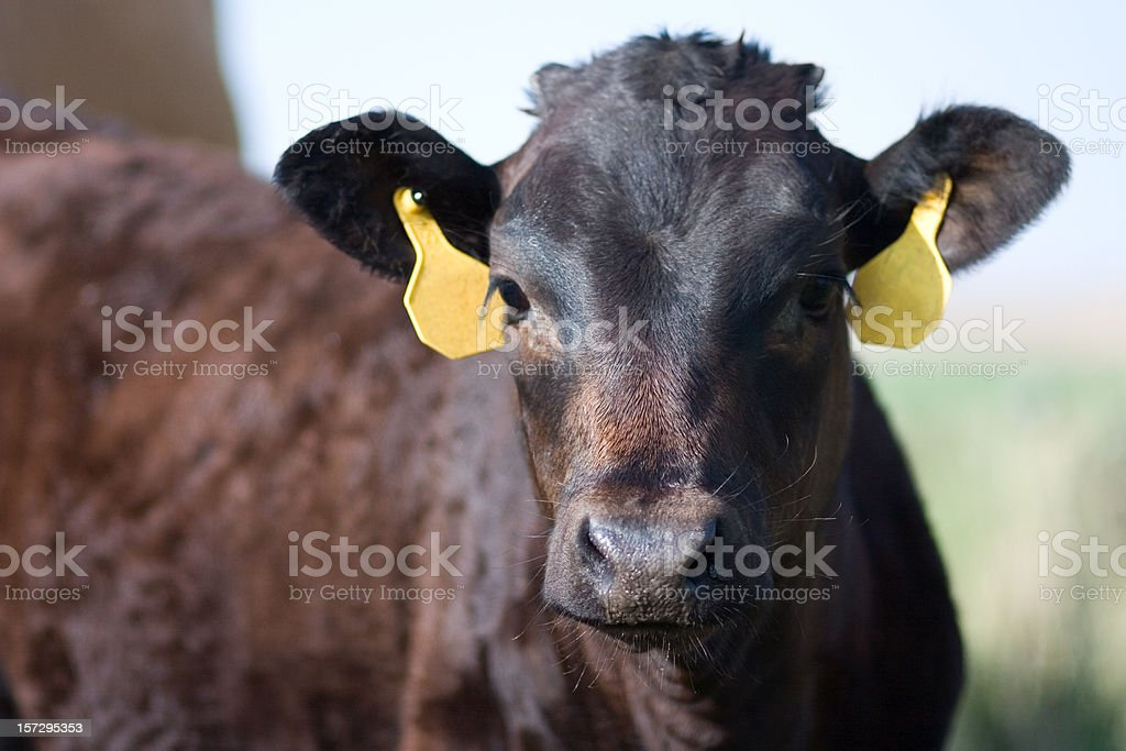 Angus Calf stock photo