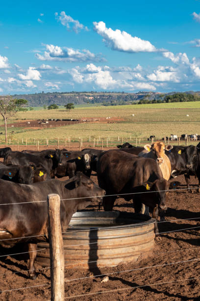 angus cattle on confinement stock photo