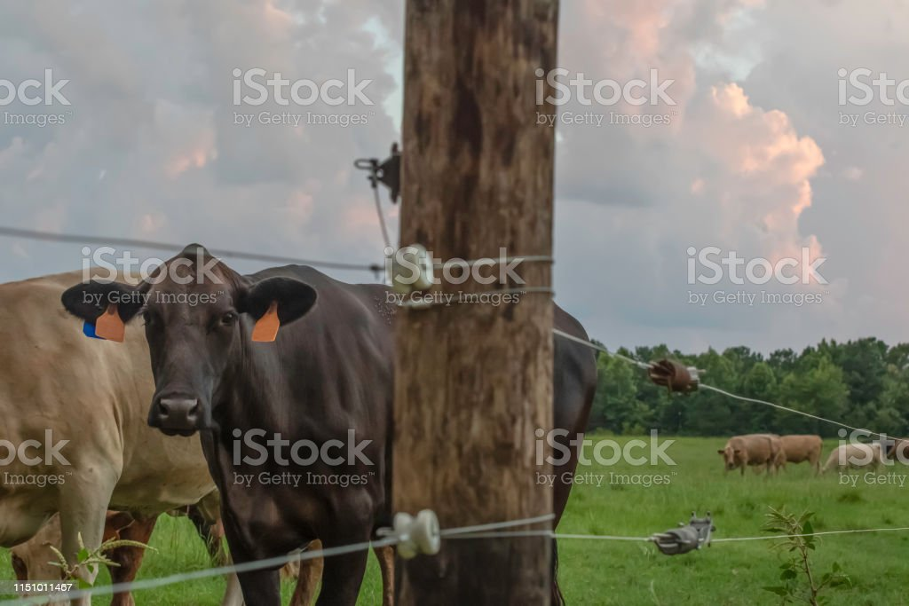 Crossbred Angus cow standing behind an electric high tensile fence...