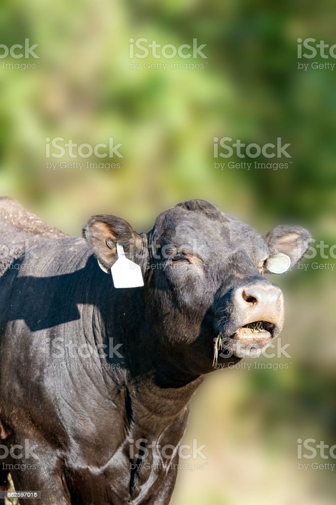 Angus cow bellowing stock photo