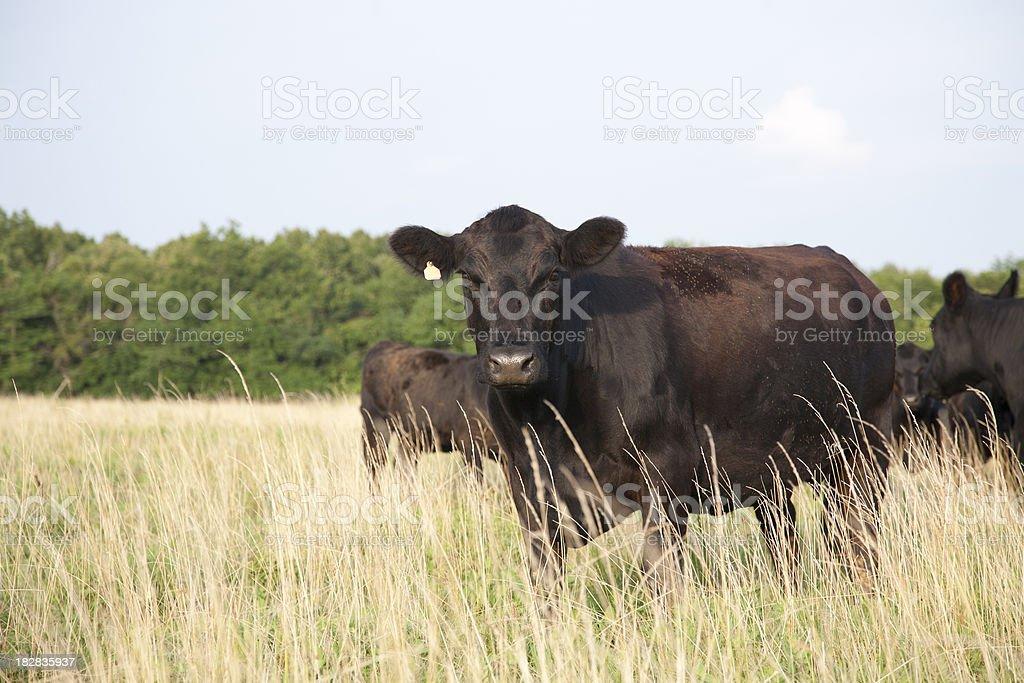 Angus Cow Looking at Camera stock photo