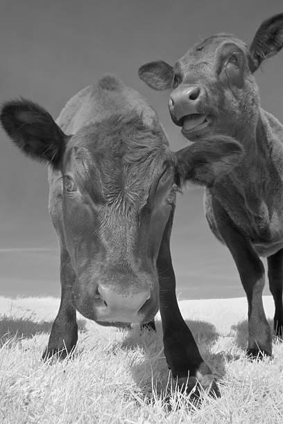 Angus Cow Pair stock photo
