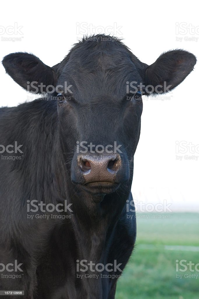 Angus Cow stock photo