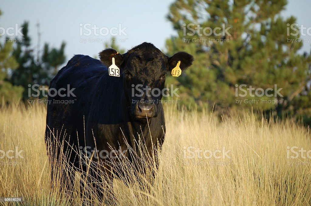 Angus stock photo