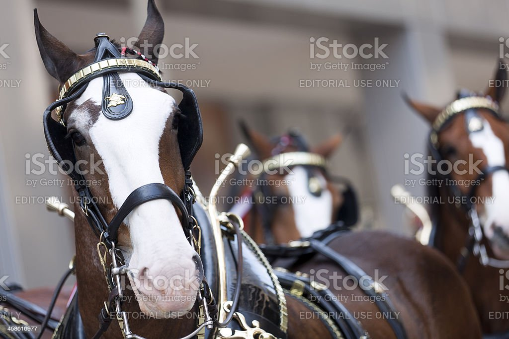 Anheuser-Busch beer wagon clydesdales stock photo