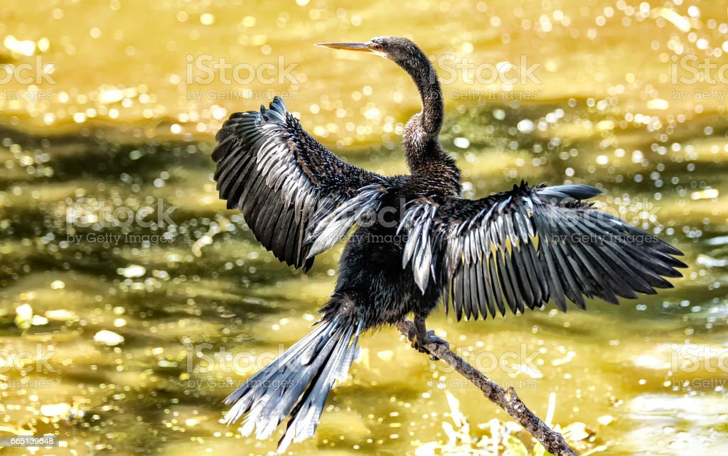 Anhinga Bird II stock photo