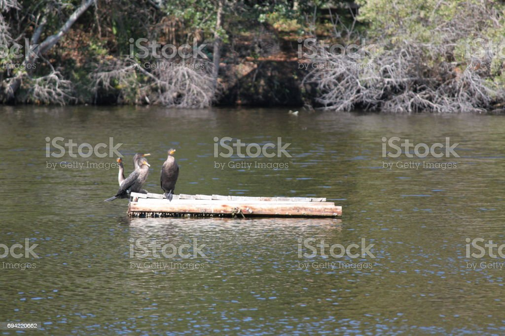 Anhinga Bird in Kiawah Island, South Carolina stock photo