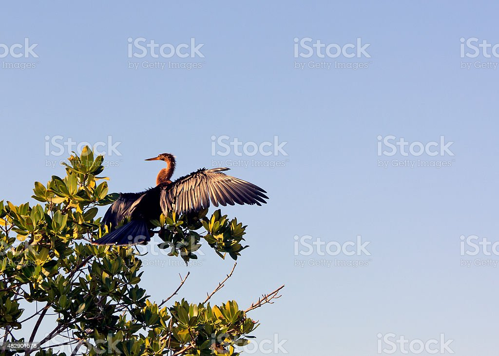 Anhinga Bird up in a Tree stock photo