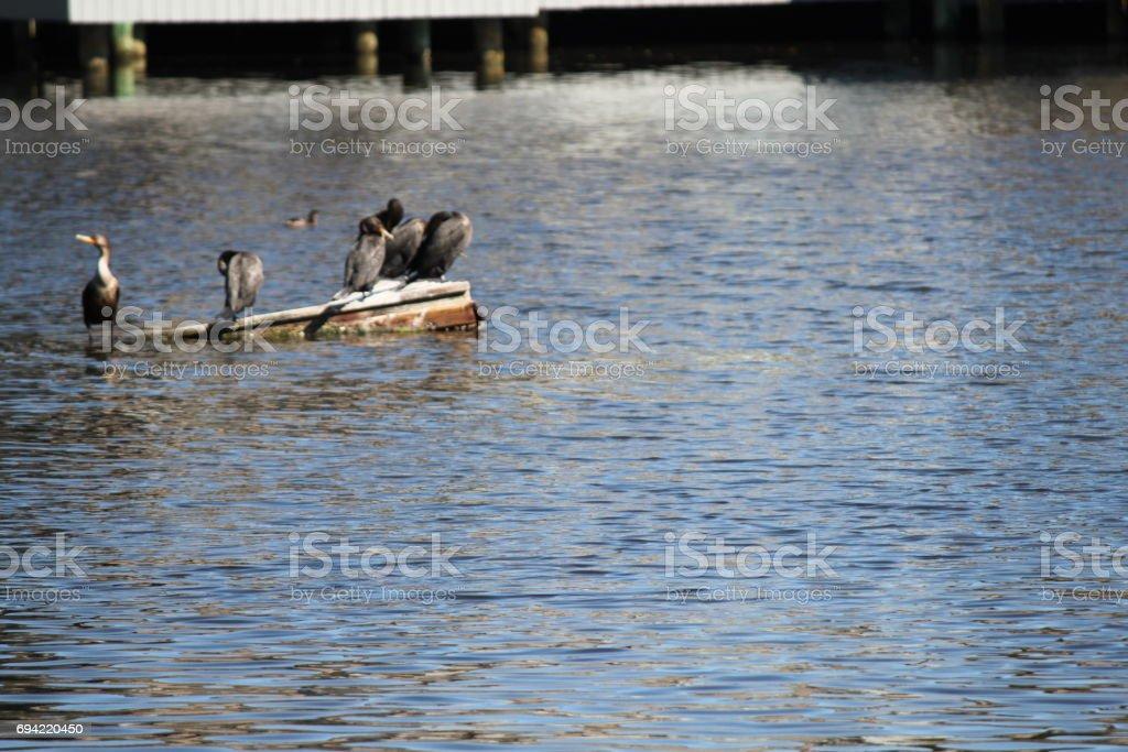 Anhinga Birds in Kiawah Island, South Carolina stock photo