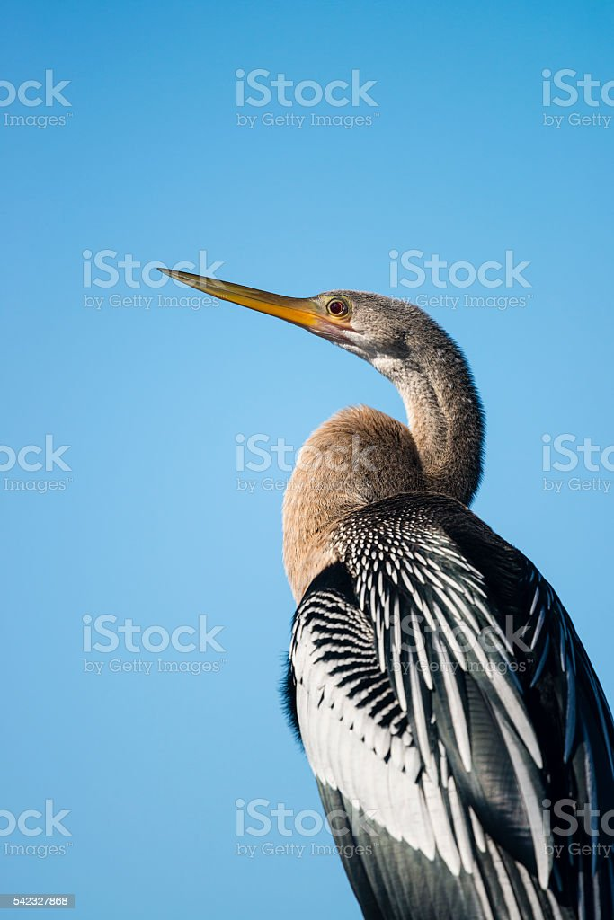 Anhinga, blue sky, beautiful bird of Florida, close-up stock photo