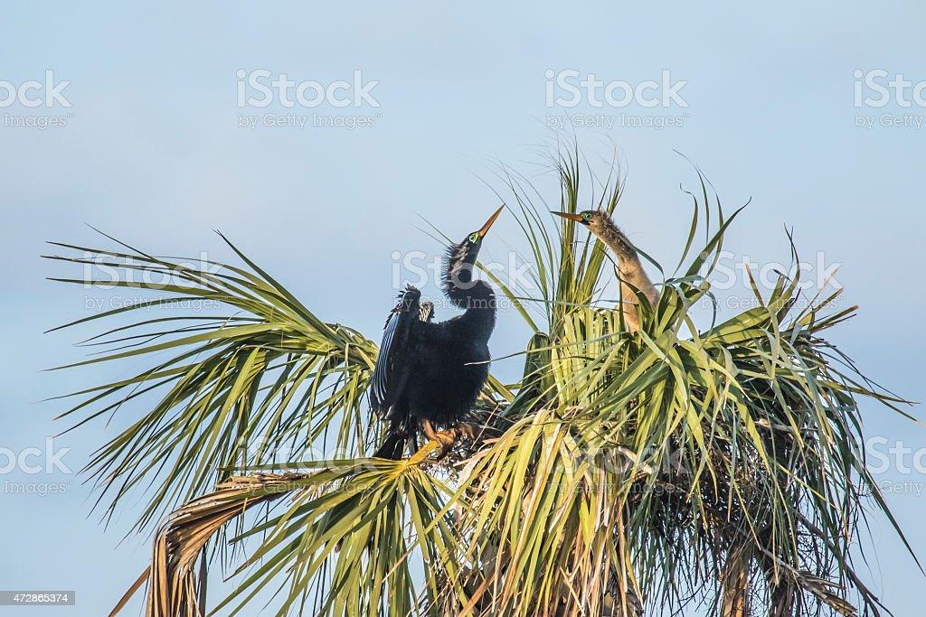 Anhinga couple on nest stock photo