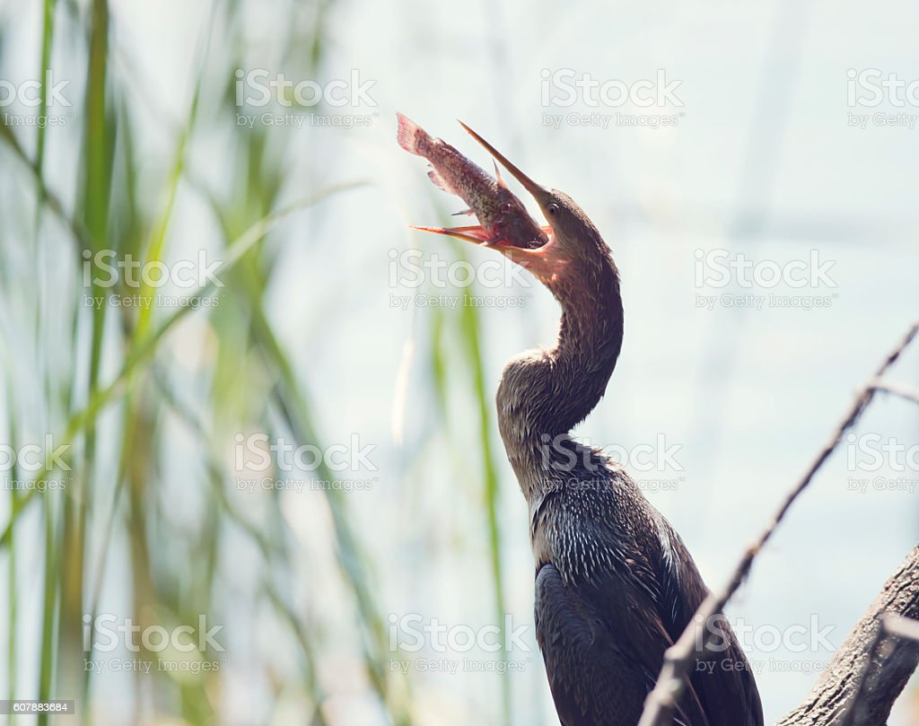 Anhinga Downing A Fish stock photo