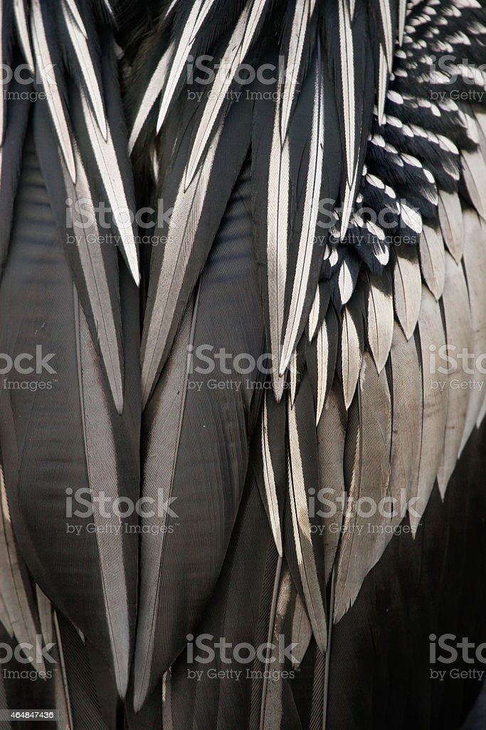 Anhinga feathers close up stock photo