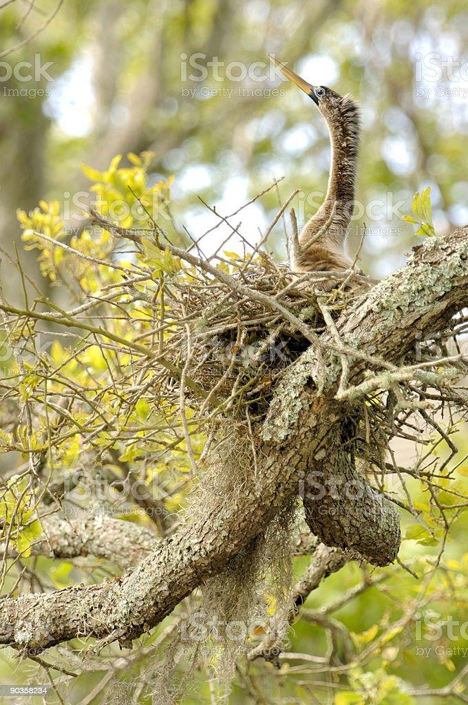 Anhinga female on nest. Amelia Island, Florida royalty-free stock photo