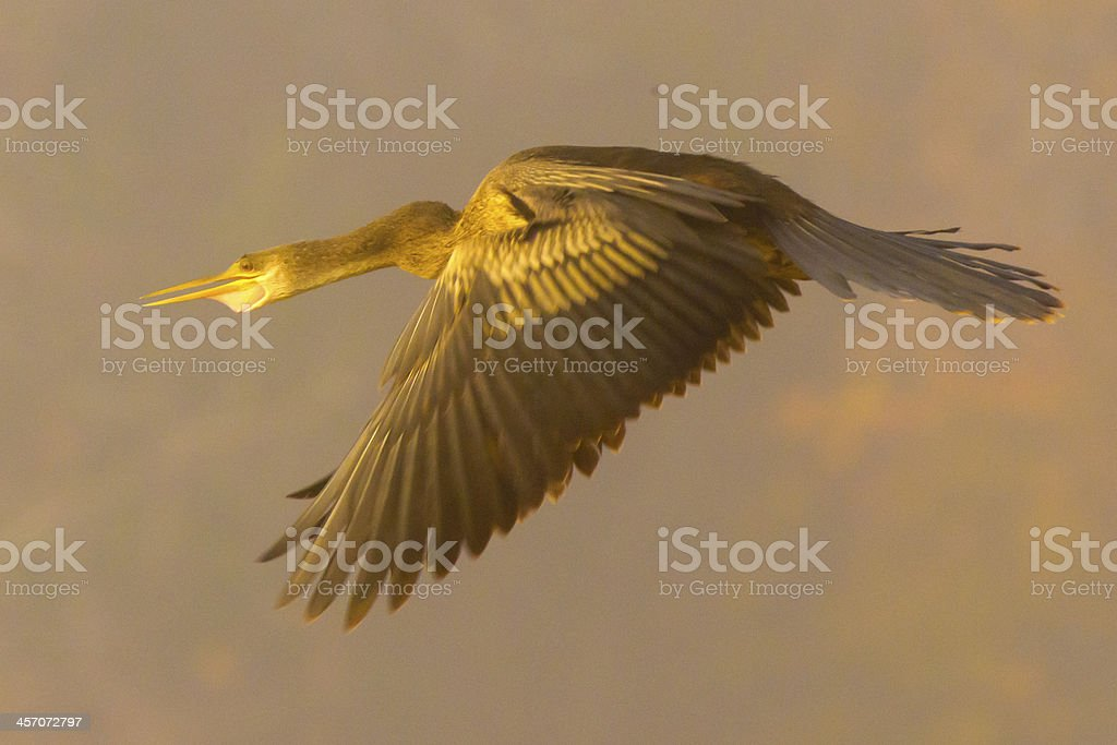 Anhinga Flying in Fog stock photo