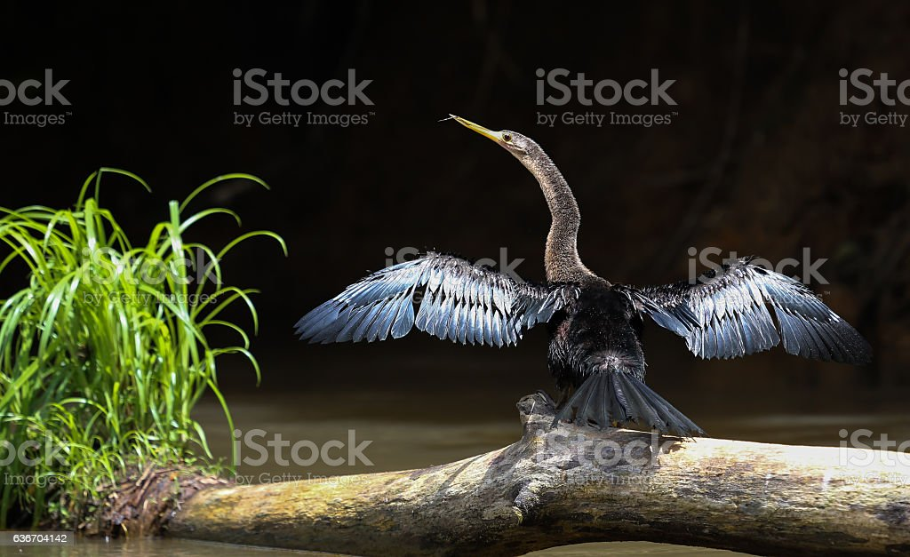 Anhinga in Costa Rica stock photo