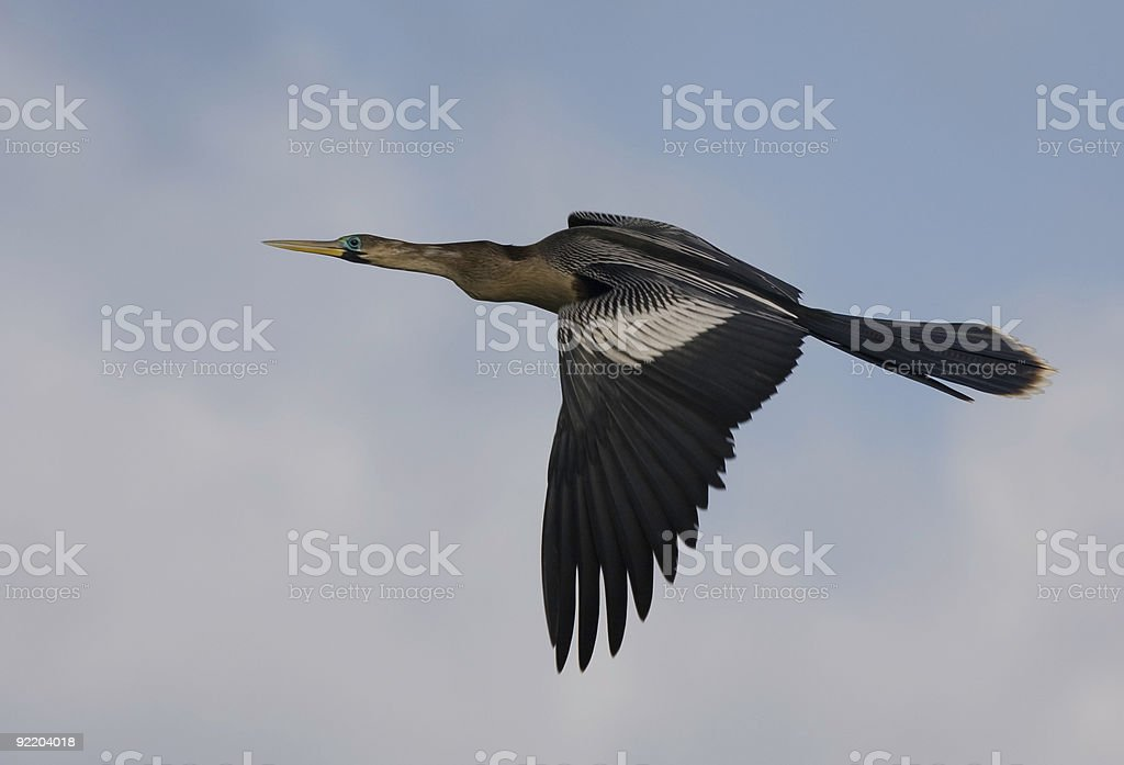 Anhinga in flight against a partly cloudy sky. stock photo
