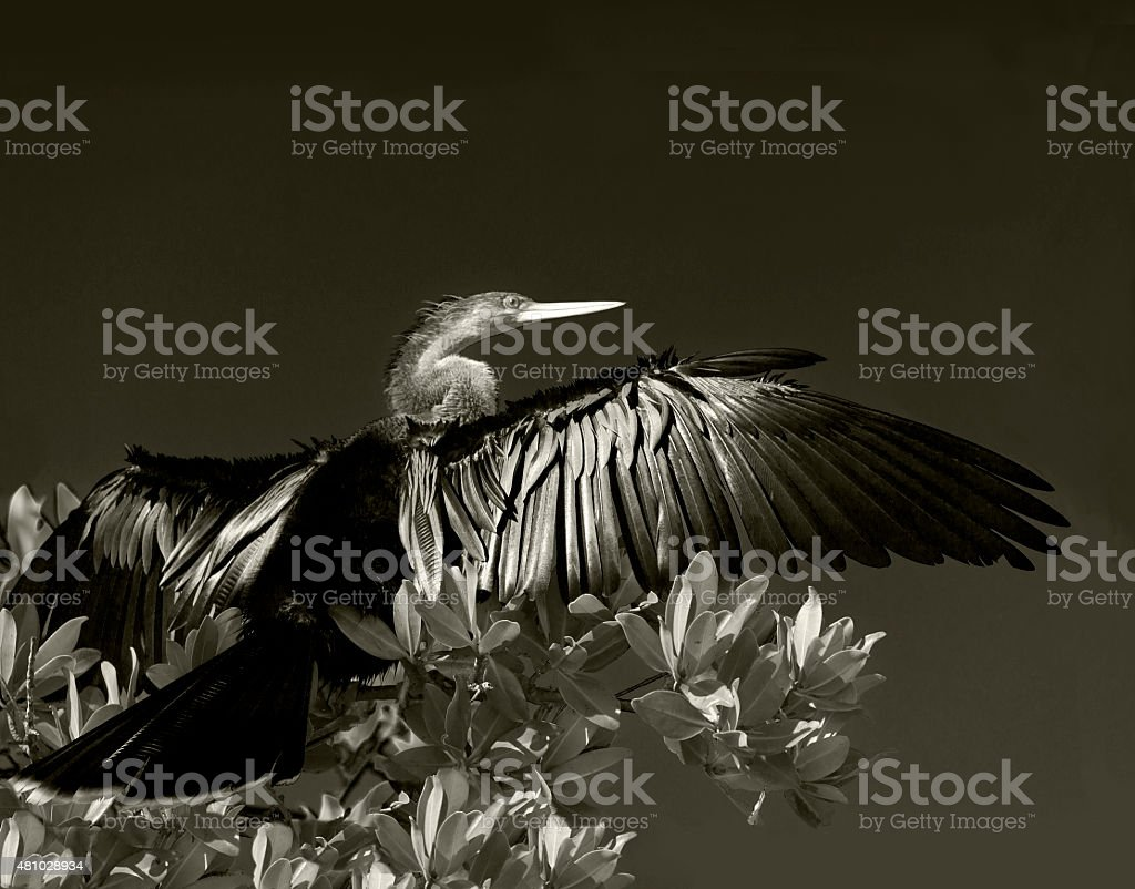 Anhinga in Florida stock photo