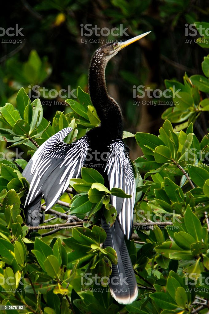 Anhinga in Tree stock photo