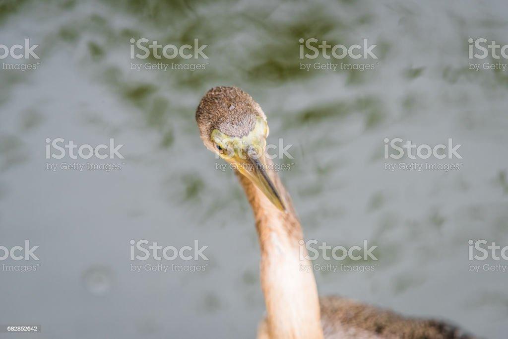 Schlangenhalsvogel oder Wasser der Türkei, trocknen den Flügeln. Lizenzfreies stock-foto