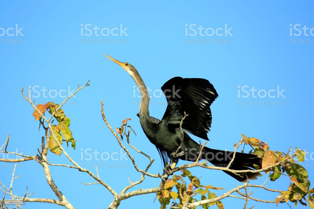 Anhinga (Snakebird) stock photo