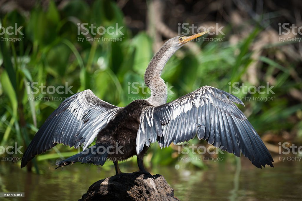 Anhinga spreading wings on rock in water stock photo