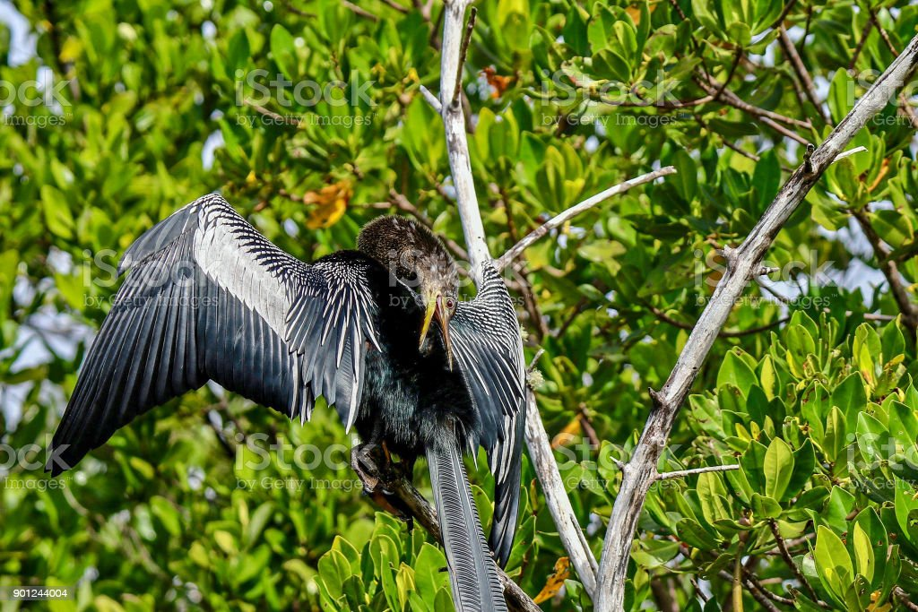 Anhinga sunning on a branch at Ding Darling National Wildlife Refuge 7 stock photo